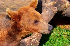 棕熊 免版税图库摄影