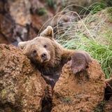 棕熊 免版税库存照片