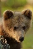 棕熊崽 库存照片