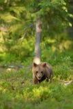 棕熊崽 库存图片