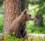 棕熊& x28 Cub; 熊属类Arctos Arctos& x29; 免版税库存图片
