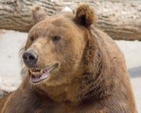 棕熊6 免版税库存图片