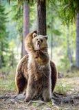 棕熊Cub熊属类arctos 站起来 免版税库存图片