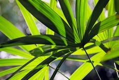 棕竹,竹棕榈叶子  免版税库存照片
