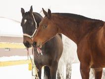 棕色三匹的马和关于彼此的白色关心在小牧场 免版税图库摄影