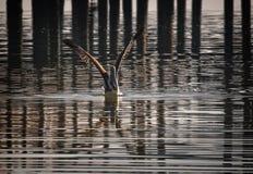 棕色佛罗里达鹈鹕 免版税库存照片