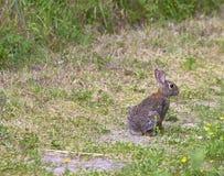 棕色兔子在草甸 库存图片