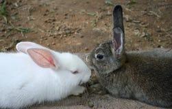 棕色兔子白色 库存照片