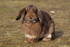 棕色兔子 免版税库存照片