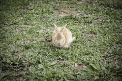 棕色兔子 库存图片