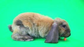 棕色兔子 股票视频