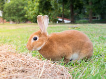 棕色兔子 图库摄影