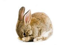 棕色兔宝宝 库存照片