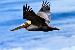 棕色加利福尼亚飞行鹈鹕 免版税库存图片
