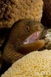 棕色加勒比海鳗 免版税库存图片