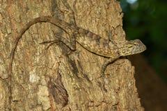 棕色变色蜥蜴的图象在树的 爬行动物 敌意 免版税库存照片