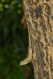 棕色变色蜥蜴的图象在树的 爬行动物 敌意 库存照片