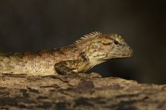 棕色变色蜥蜴的图象在树的 爬行动物 敌意 免版税库存图片