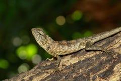 棕色变色蜥蜴的图象在树的 爬行动物 敌意 库存图片