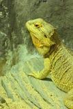 棕色变色蜥蜴鬣鳞蜥 免版税库存照片