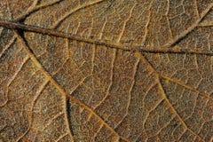 棕色叶子宏指令 免版税库存照片