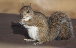 棕色吃花生灰鼠 库存照片