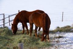 棕色吃草的马配对牧场地冬天 免版税库存照片