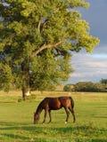 棕色吃草的马 图库摄影