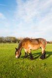 棕色吃草的马 库存照片