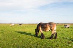 棕色吃草的马 免版税库存照片