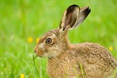棕色吃草野兔 免版税库存照片