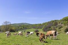棕色和白色母牛牧群在夏天绿色领域的 库存图片