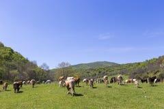 棕色和白色母牛牧群在夏天绿色领域的 库存照片