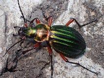 棕色地球上的绿色金黄昆虫 库存图片