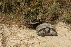 棕色地鼠迈克尔照片r草龟 库存照片