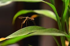 棕色大蚊的特写镜头笔直在一个家里面的室内植物在西北密苏里 库存照片