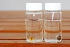 棕色寡妇蜘蛛标本  免版税图库摄影