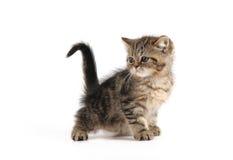 棕色小猫一点 免版税库存照片