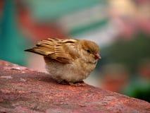 棕色小的麻雀 免版税库存照片