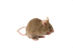 棕色小的鼠标 库存照片