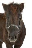 棕色小马 免版税库存图片