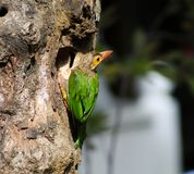 棕色带头的热带巨嘴鸟或大绿色热带巨嘴鸟[2] Psilopogon zeylanicus 库存图片