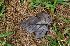 棕色干燥叶子槭树 库存照片