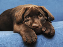 棕色拉布拉多小狗 免版税图库摄影