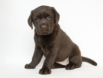 棕色拉布拉多小狗 库存照片