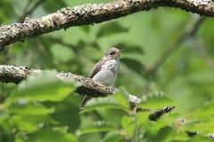 棕色捕蝇器幼鸟  免版税库存图片