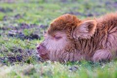 棕色新出生的苏格兰高地居民小牛头  免版税库存图片