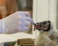 棕色木猫头鹰小鸡  孵出和喂养小鸡在瓦尔斯罗德飞禽公园 免版税库存照片