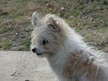 棕色杂种的狗白色和 免版税库存照片