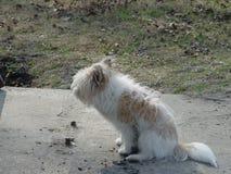 棕色杂种的狗白色和 库存图片